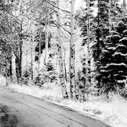 nature naturephotography snow birchtrees blackandwhite