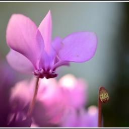 pinkflower macrophotography garden nikonphotography gardenflower
