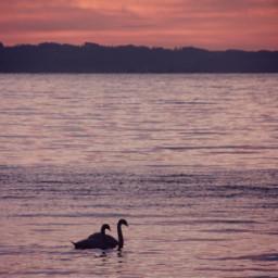 freetoedit sunset lakeofconstance swan