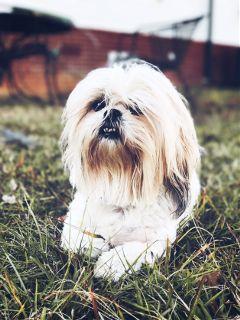 shihtzu dog petsandanimals cute portrait